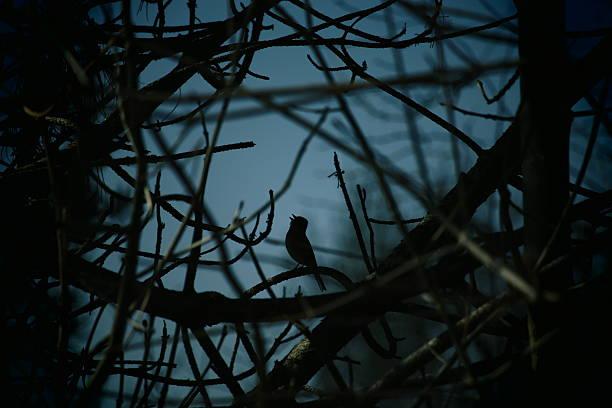 Chant d'oiseau de nuit - Photo