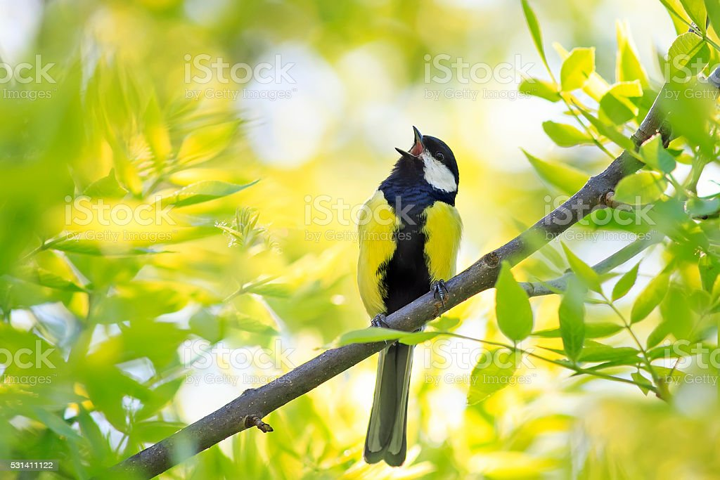 bird sings among the young green of the tree stock photo