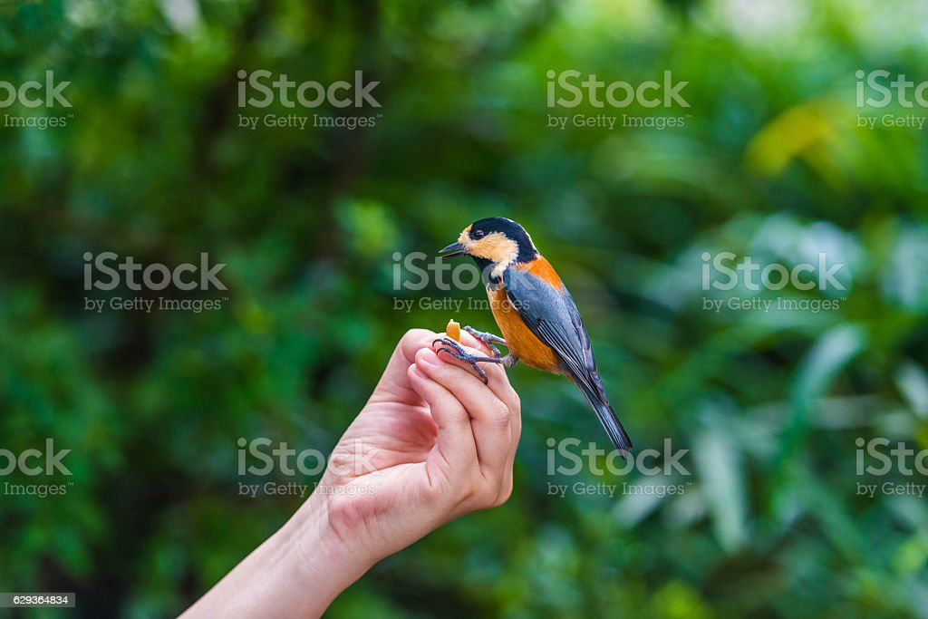 Bird sits on human hand. People feed the tit. stock photo