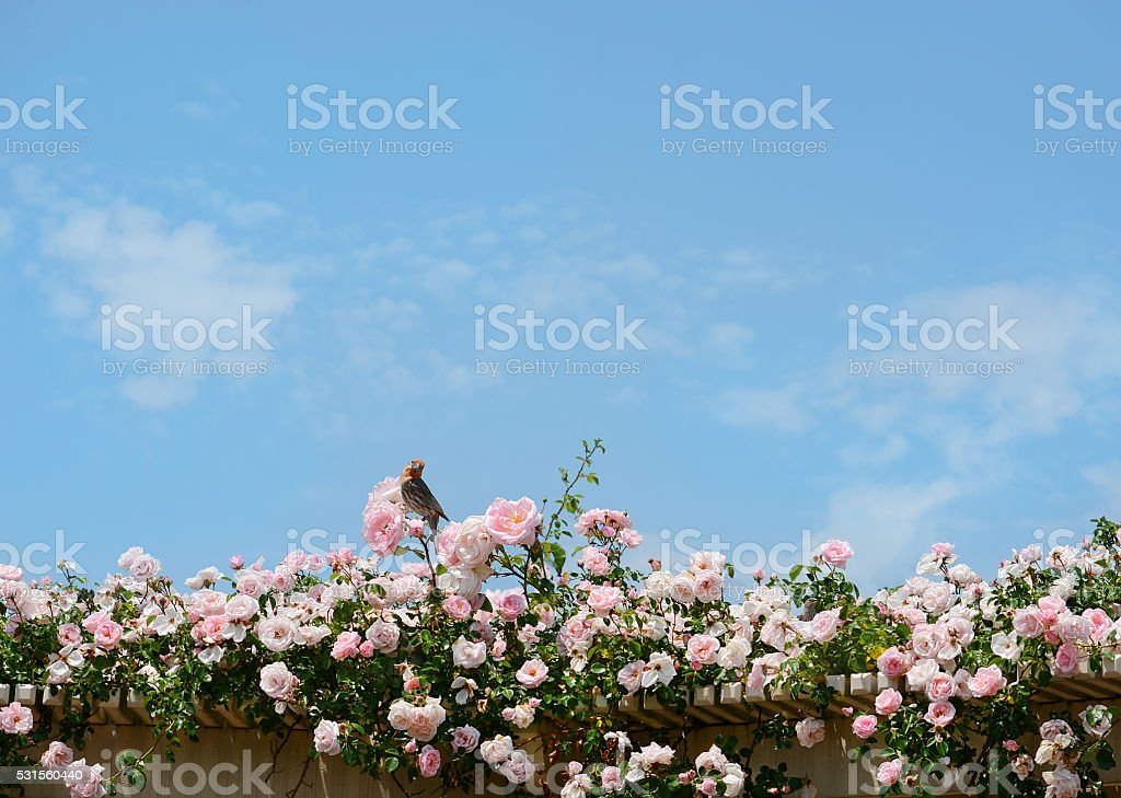 Bird sitting on beautiful blooming rose flowers. stock photo