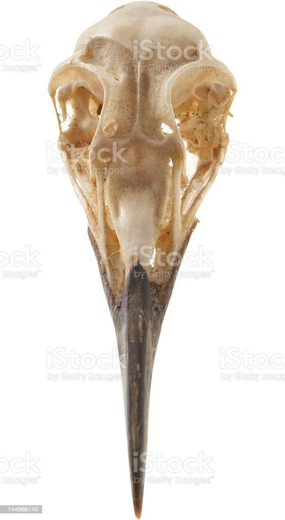 Bird Skull stock photo