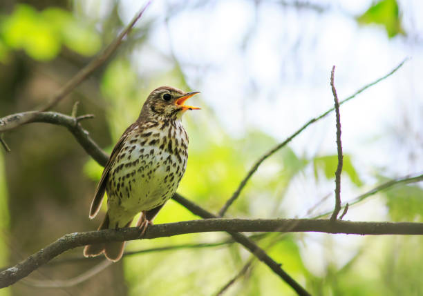 oiseau Grive chante haut et fort dans les bois de printemps - Photo