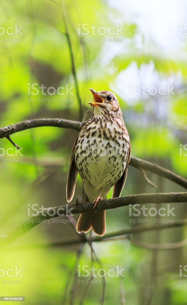 Bird Song Thrush Sings Loudly In The Spring Woods Royalty Free Stock Photo