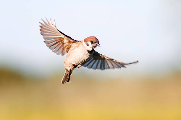 bird Sparrow flutters in the sky in the summer stock photo