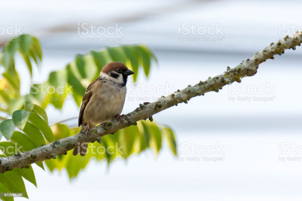 Bird Sparrow On Branches Of Bushes, Common Sparrow On The Branches Of Currants. stock photo