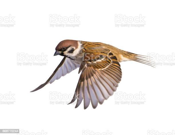Bird sparrow on white background picture id668770244?b=1&k=6&m=668770244&s=612x612&h=kjgtmz9x3g4ripejpwpxnom m4cmqpvgichdf0qfvjs=