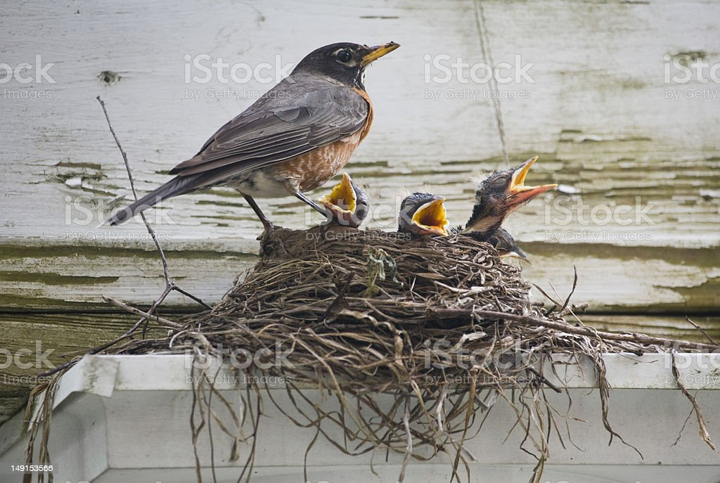 A bird standing at its nest with hungry chicks stock photo