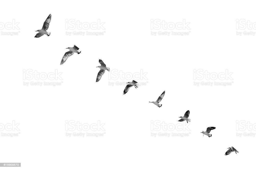 Bird taking off to clear sky (b&w) stock photo