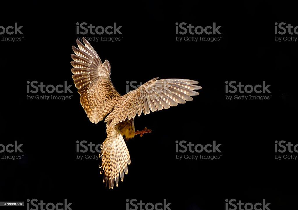 Bird (Common Kestrel) , Thailand stock photo