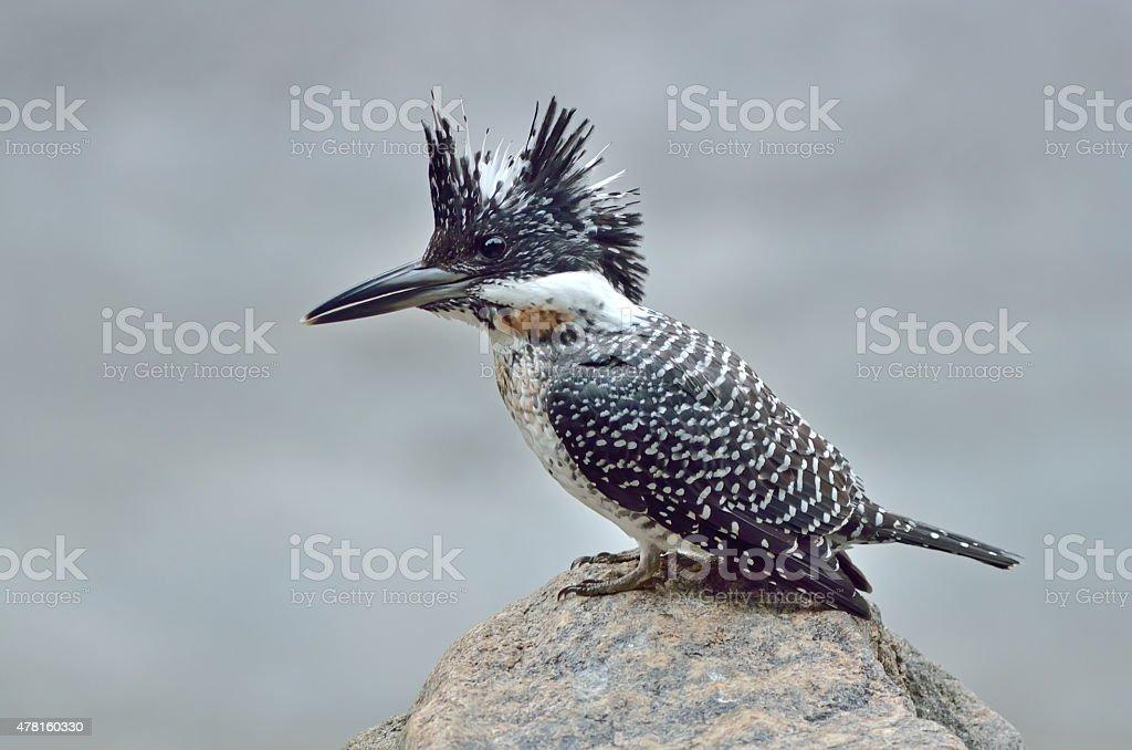 Bird (Crested Kingfisher) , Thailand stock photo