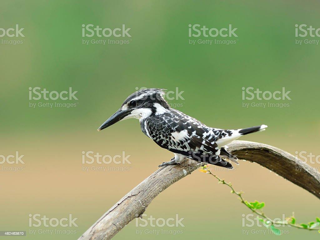 Bird (Pied kingfisher ) , Thailand stock photo
