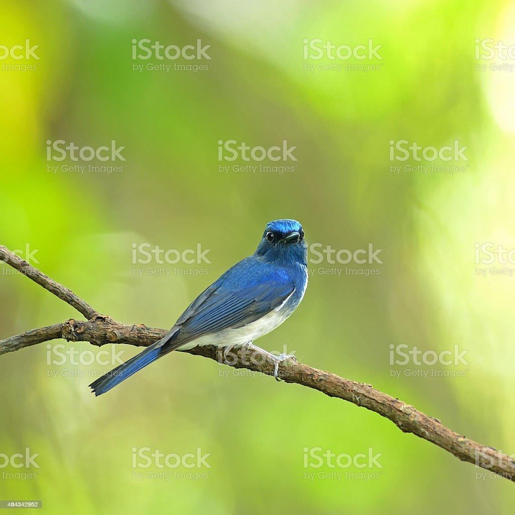 Bird (Hainan Blue Flycatcher) , Thailand Bird (Hainan Blue Flycatcher) , Thailand 2015 Stock Photo