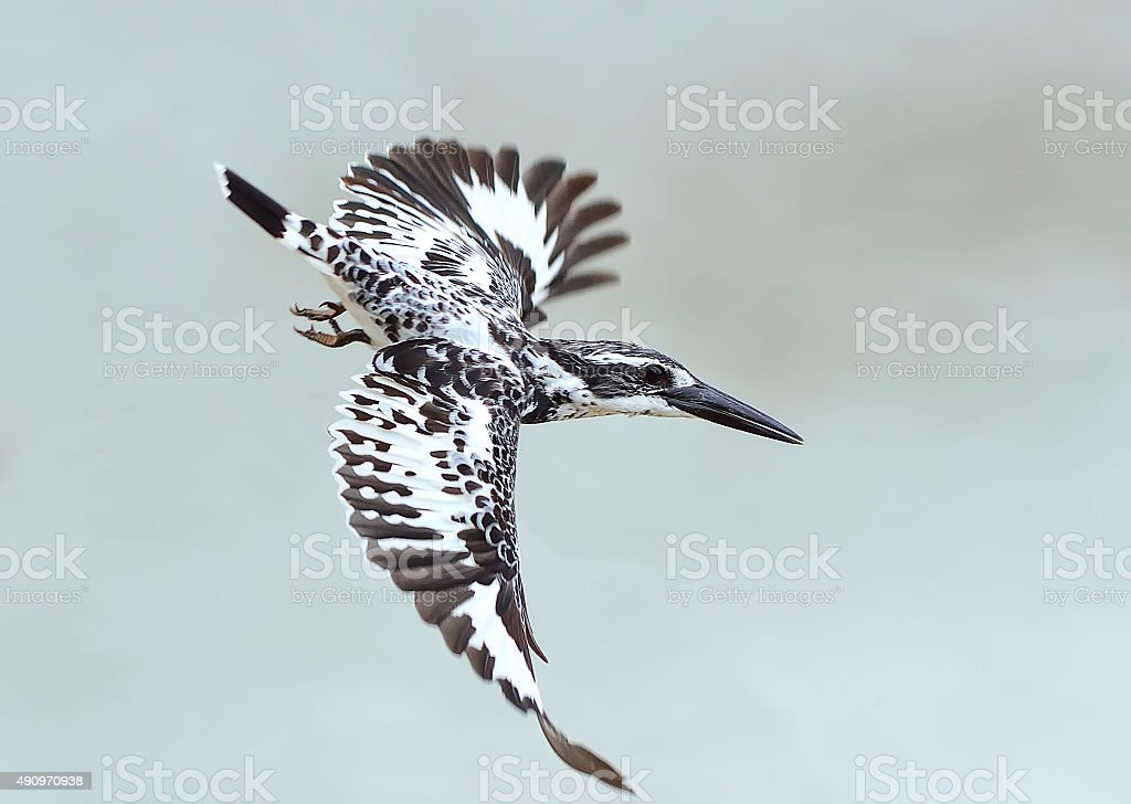 Bird (Pied kingfisher) , Thailand stock photo