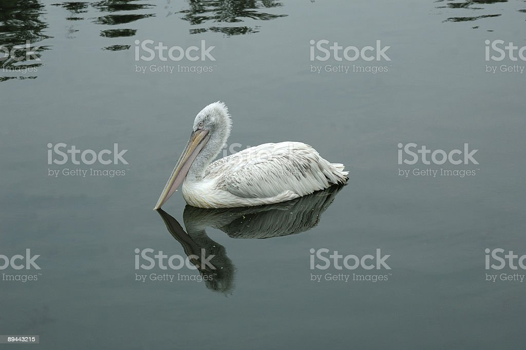 Bird the Pelican on water. royalty-free stock photo