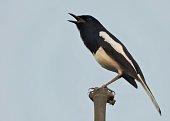 Bird - Theoriental magpie-robin(Copsychus saularis)(Male). Family:Muscicapidae. Location - Assam, India. It is the national bird ofBangladesh. Itis a small passerine bird.
