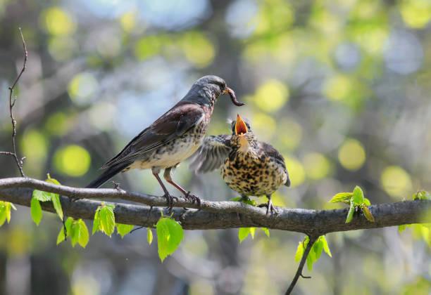 bird thrush feeding her little chicks long pink worm on a tree in spring - song thrush imagens e fotografias de stock
