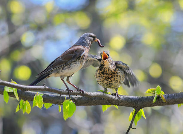 bird thrush feeding her little Chicks long pink worm on a tree in spring stock photo