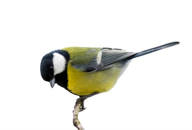 vogel mees zittend op een tak in het park op een witte achtergrond voor geïsoleerde - neerstrijken stockfoto's en -beelden
