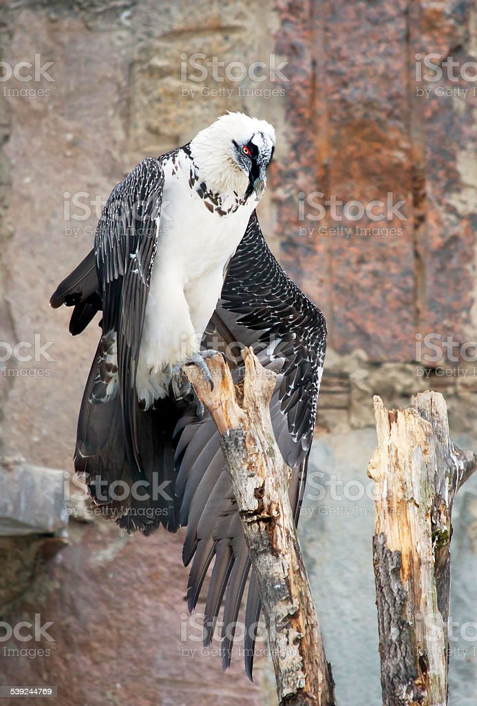 Bird Vulture Lammergeier royalty-free stock photo