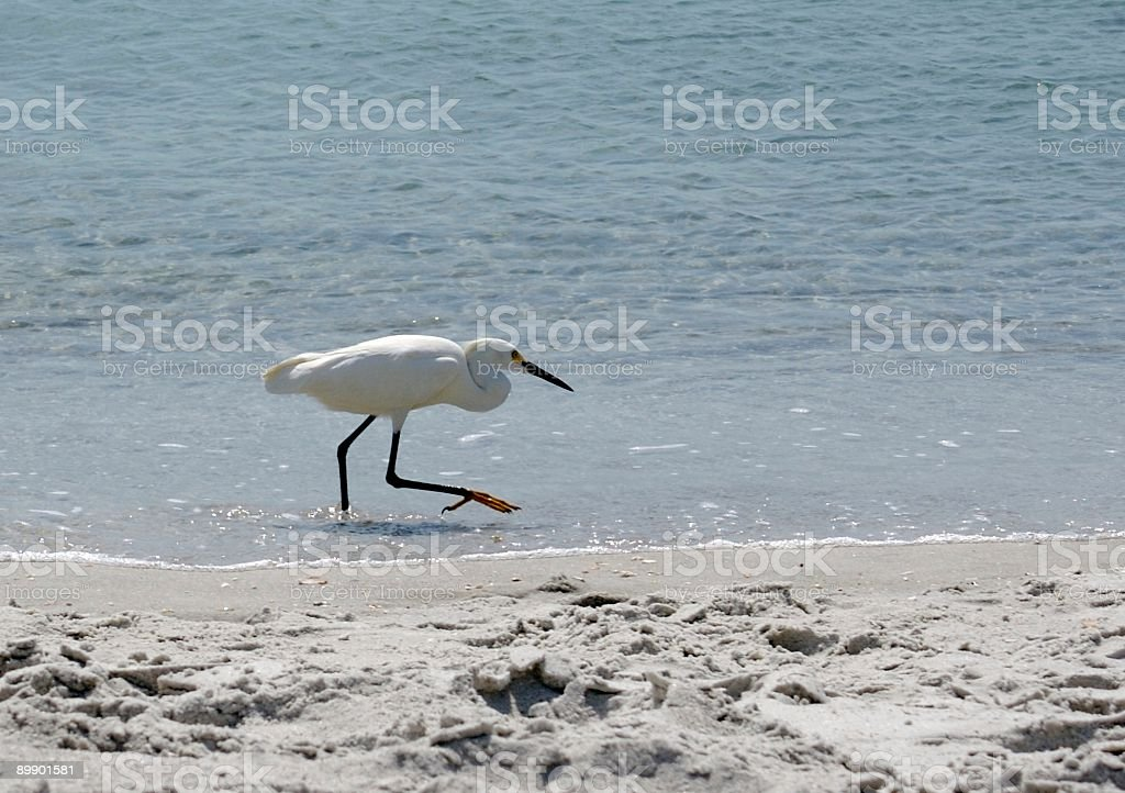 Bird Walk royalty-free stock photo