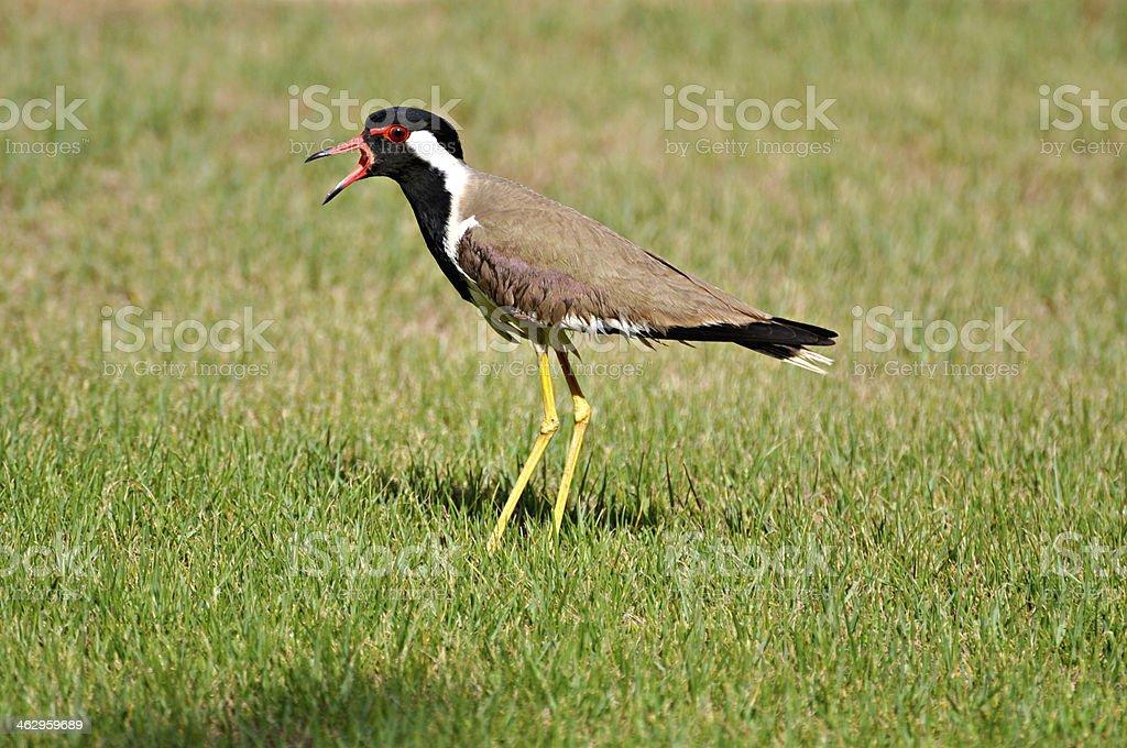 Bird walking on a grass stock photo