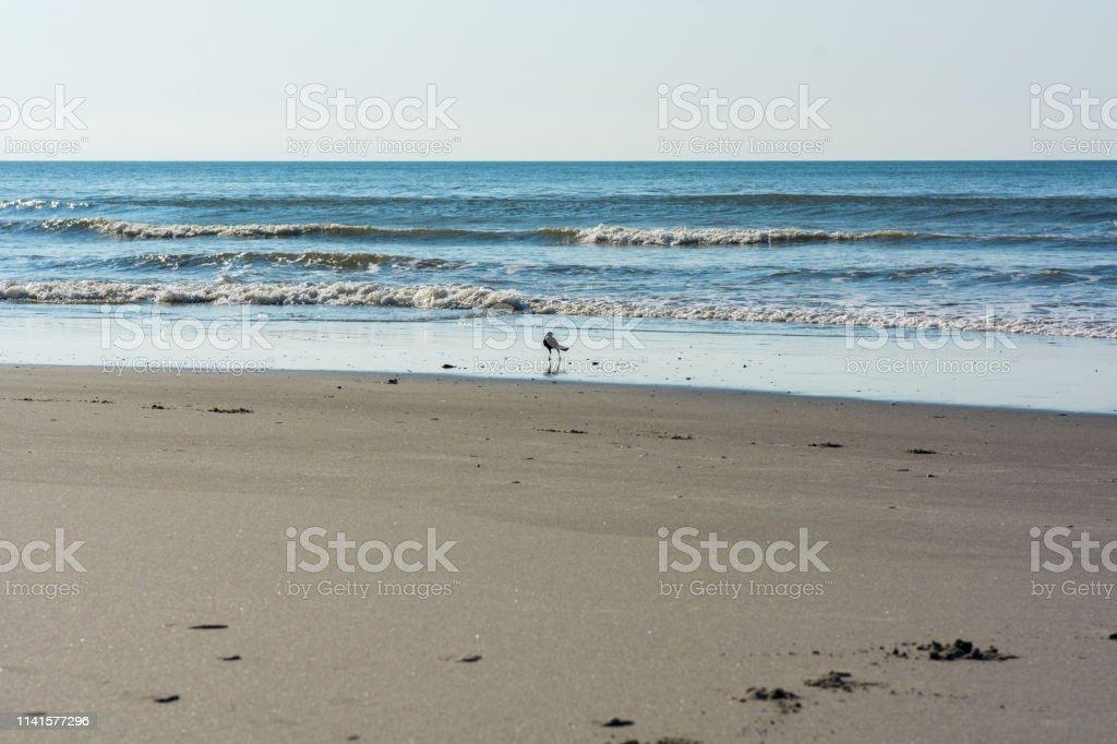 A bird walks the beach stock photo