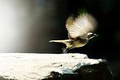 Bird waving its wings in flight on a dark background in long exposition, slow shutter
