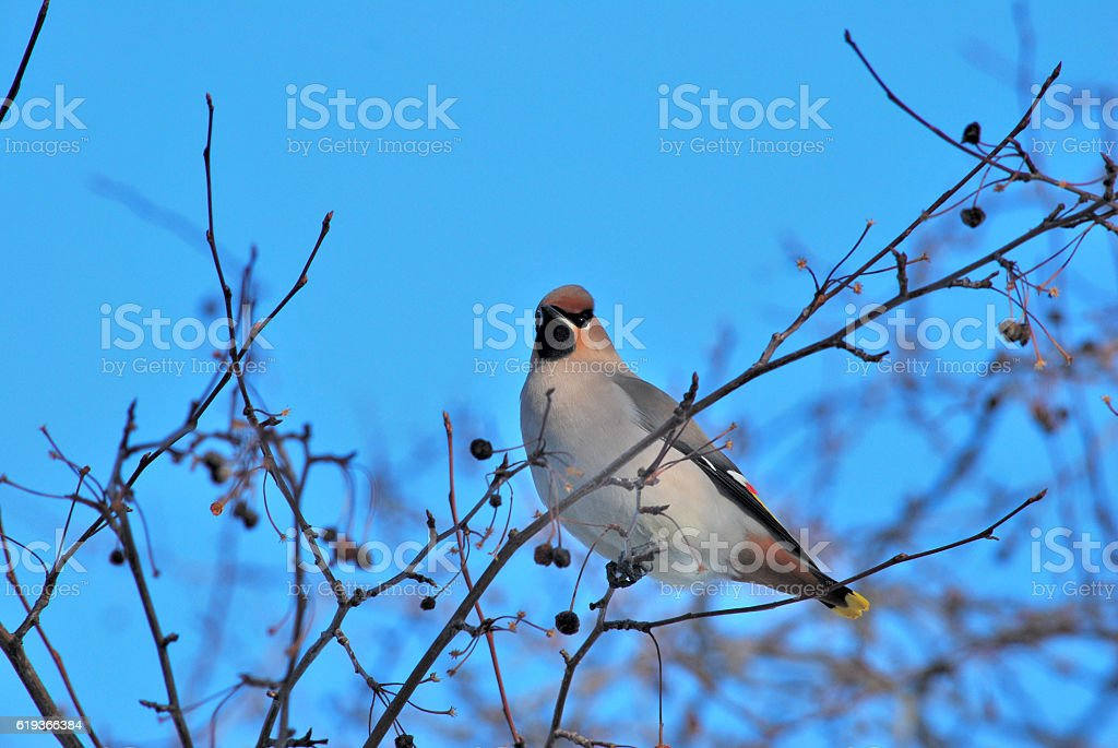 Bird waxwing bulletin spring is coming стоковое фото