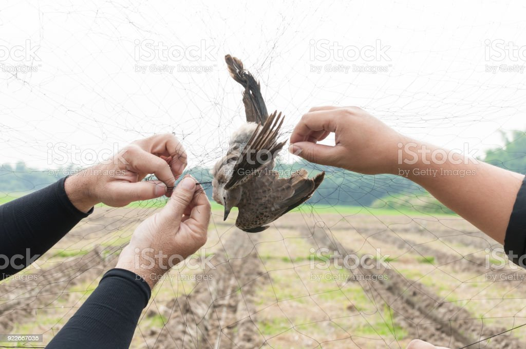 Bird were caught by gardener hand holding on a mesh on white background stock photo
