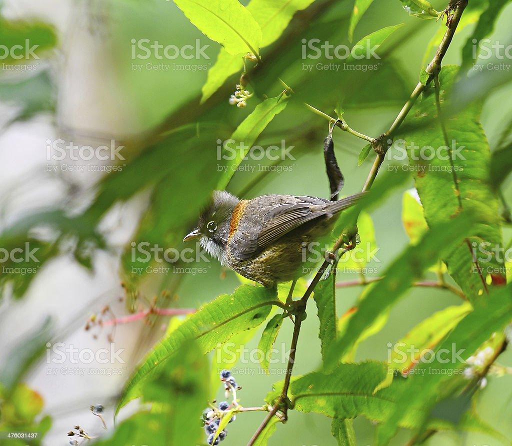 Bird Whiskered Yuhina (Yuhina flavicollis), on a branch, in natu Bird Whiskered Yuhina (Yuhina flavicollis), on a branch, in nature, in Thailand Alertness Stock Photo