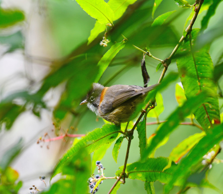 Bird Whiskered Yuhina On A Branch In Natu Stock Photo - Download Image Now