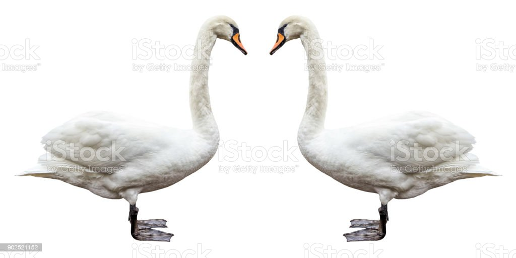bird white swan side view isolated stock photo