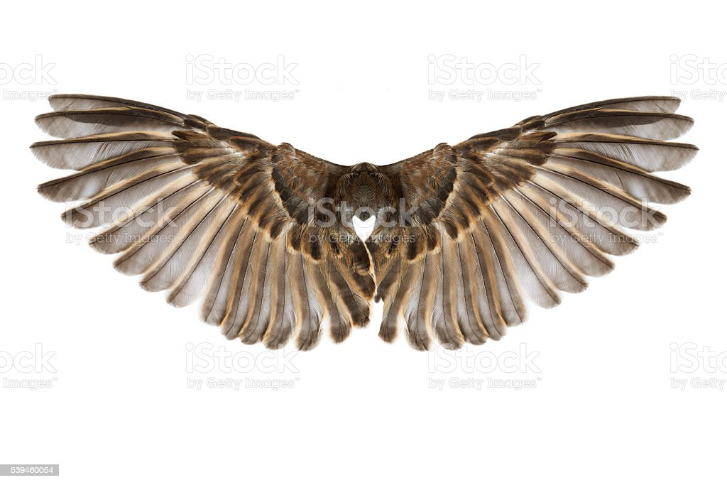 bird wings isolated on white stock photo