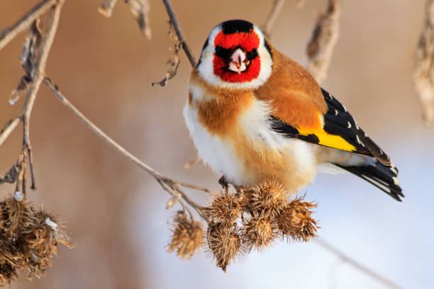 bird with a red mask sits on a dry plant stock photo