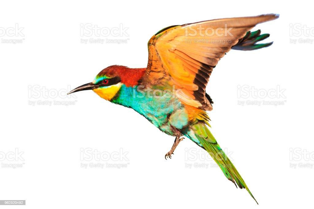 pássaro com penas coloridas em voo isolado no branco - Foto de stock de Amarelo royalty-free