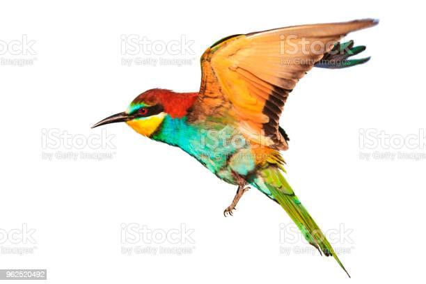 Foto de Pássaro Com Penas Coloridas Em Voo Isolado No Branco e mais fotos de stock de Amarelo