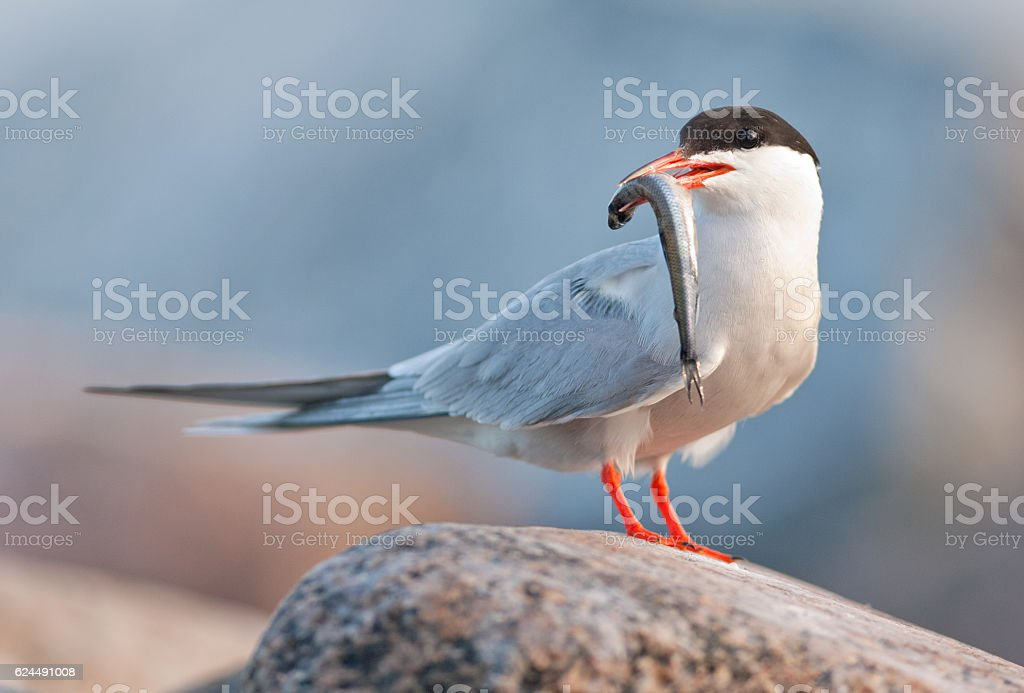 Bird with fish. - foto de acervo