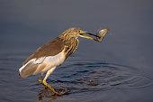 indian heron with preyed fish