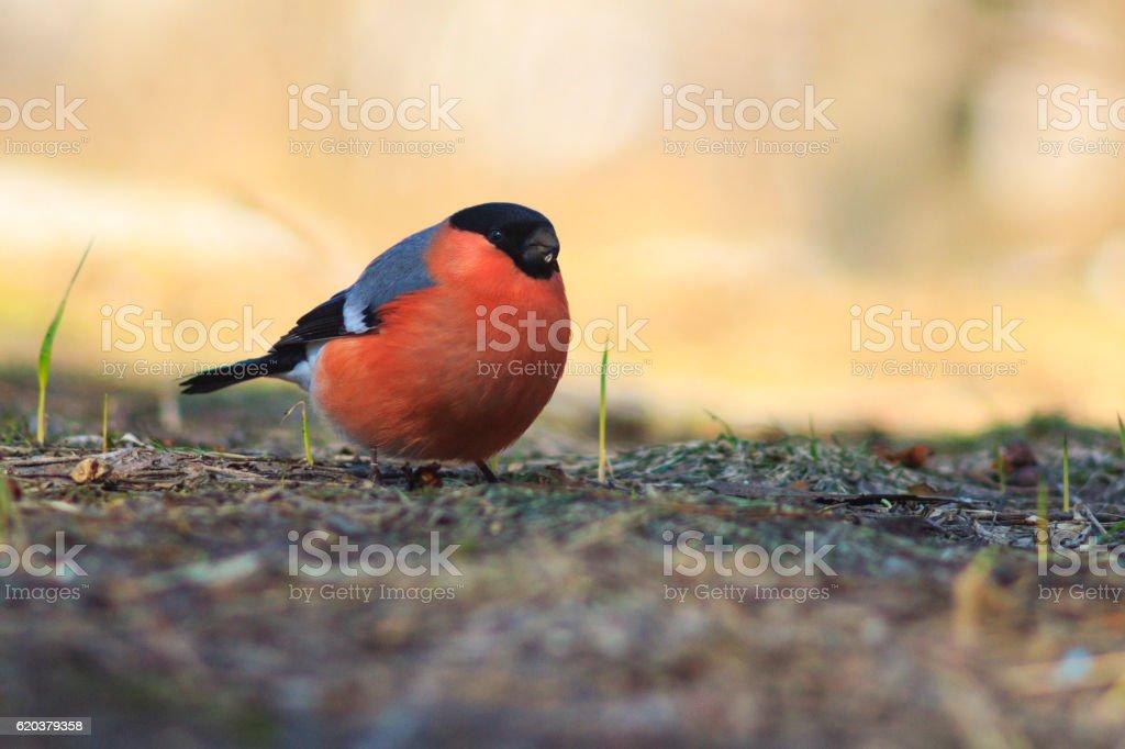 bird with the red breast ,bullfinch sitting on the ground zbiór zdjęć royalty-free