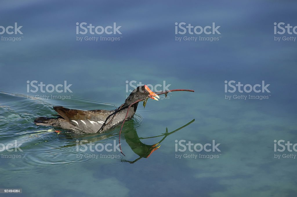 Bird with twig royalty-free stock photo