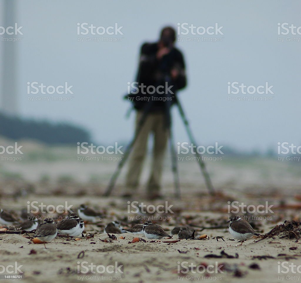 Birder Watching Semipalmated Plovers royalty-free stock photo