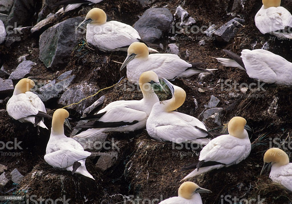 Bird-Gannets in nesting colony royalty-free stock photo