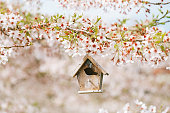 Birdhouse in Spring with blossom cherry flower sakura