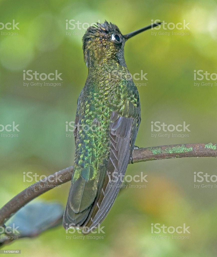 Bird-Hummingbird-Magnificent royalty-free stock photo