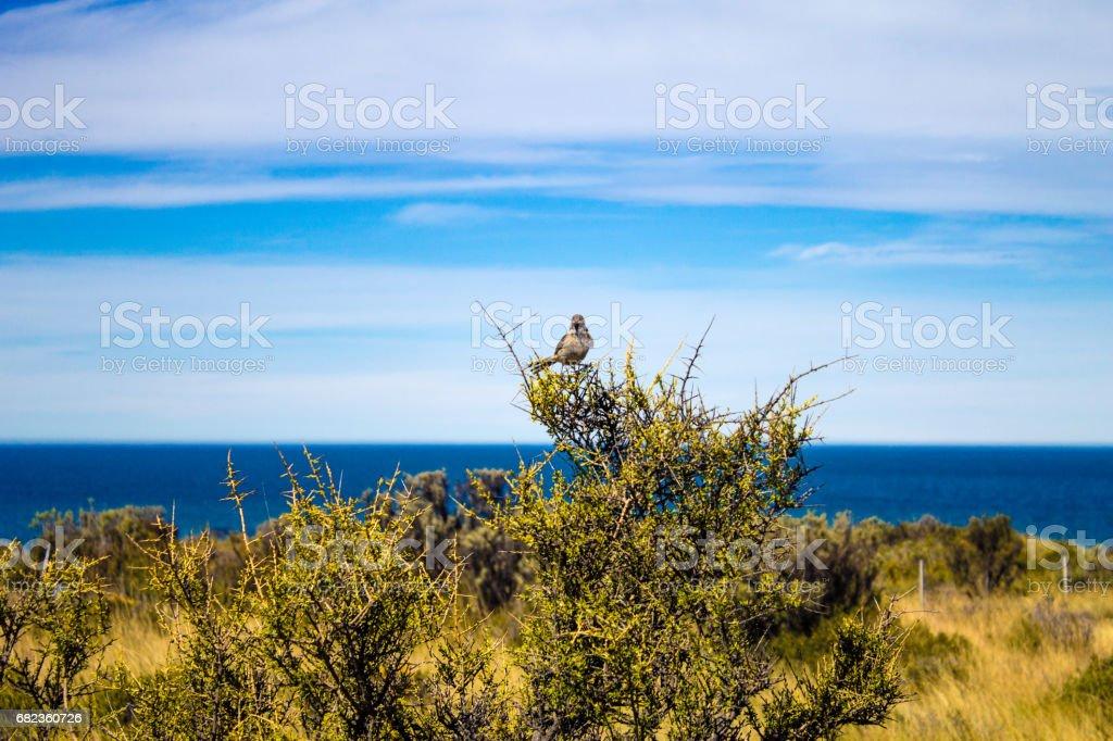 Birdie resting in the beautiful landscape of Peninsula Valdes - Patagonia Argentina - South America. zbiór zdjęć royalty-free