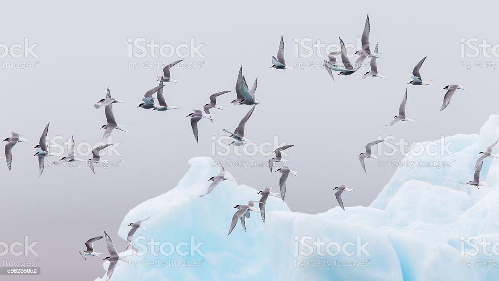 Birdlife in Jokulsarlon, a large glacial lake in Iceland stock photo