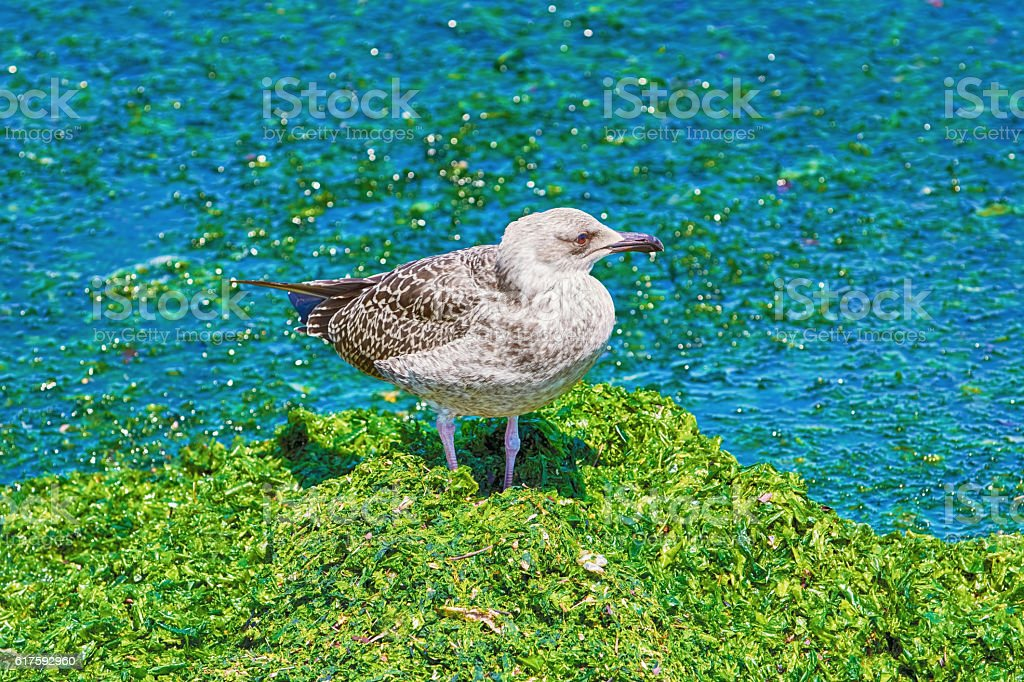 Birdling of Seagull stock photo
