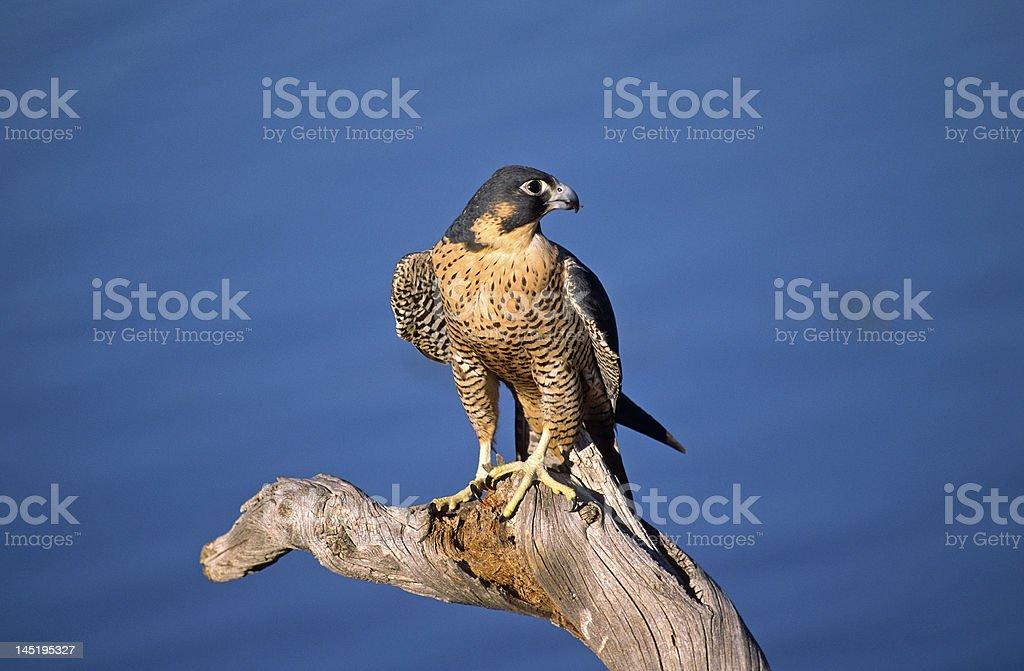 Bird-Peregrine falcon against blue Colorado sky stock photo