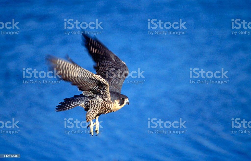 Bird-Peregrine falcon in flight stock photo