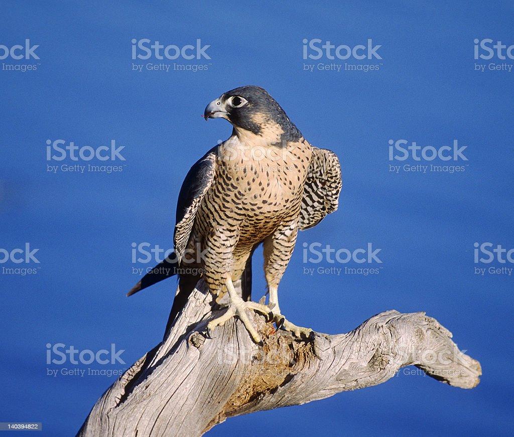 Bird-Peregrine falcon stock photo